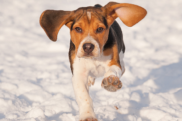 Meet Everybody's Favourite Canine: the Beagle  Meet Everybody's Favourite Canine: the Beagle A beagle running through snow