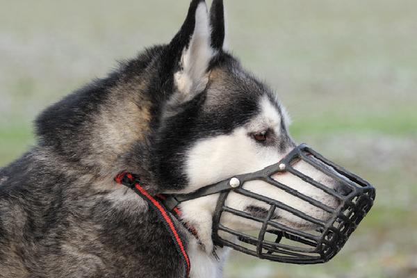 Reese's Legislation Enacted in Florida  Reese's Legislation Enacted in Florida A dog wearing a muzzle