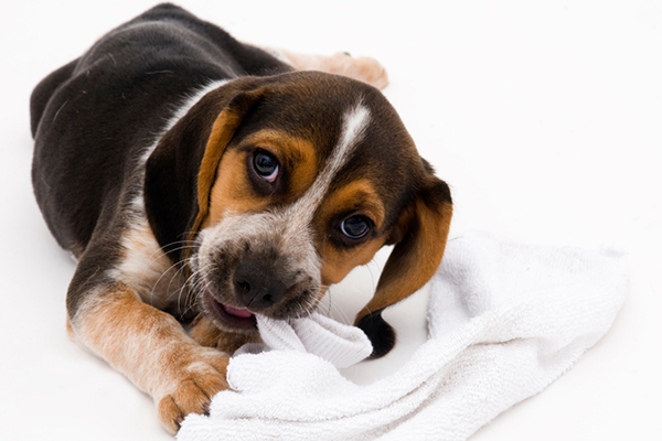 Your Dog Ate a Sock —What to Do Next  Your Dog Ate a Sock —What to Do Next A puppy eating a sock
