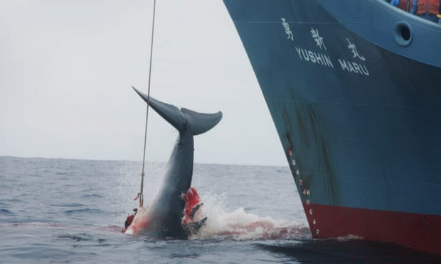 POLL: Ought to Japan be sanctioned for persevering with business whaling?  POLL: Ought to Japan be sanctioned for persevering with business whaling? whaling 2
