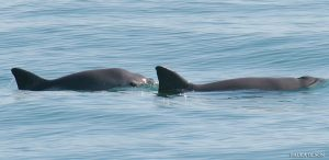 Final Probability for the Vaquita  Final Probability for the Vaquita 21811921022 6506d120b4 o 300x146