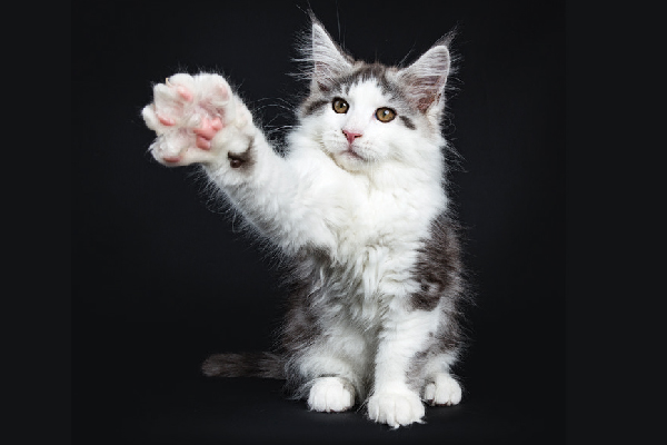 Second Canadian Province Bans Declawing  Second Canadian Province Bans Declawing A cat reaching his paw out claw close up