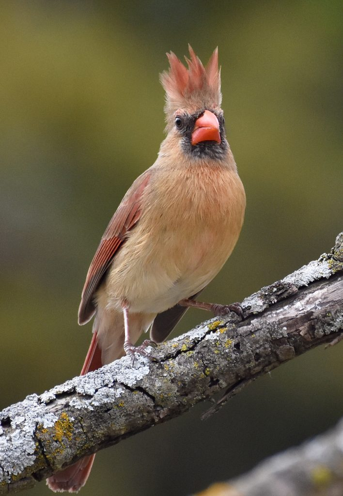"""Cardinals and Pals"" BirdSpotter Folks's Alternative Winner!  ""Cardinals and Pals"" BirdSpotter Folks's Alternative Winner! Category6 PC NOCA RodneyWright"