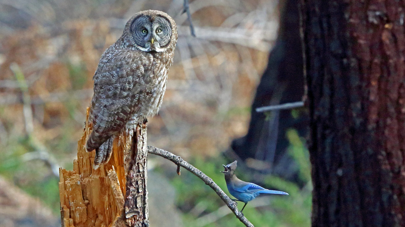 Nice Grey Owls Present Resilence After a Megafire in California  Nice Grey Owls Present Resilence After a Megafire in California GGOwl Voaden ML46580921