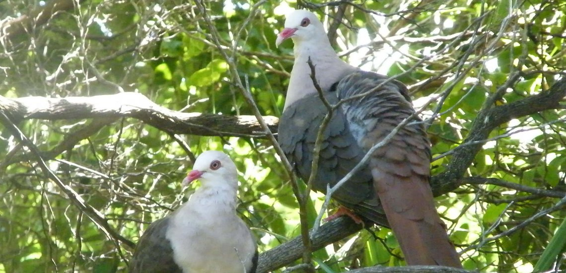 How did the Pink Pigeon bounce again from simply 9 birds?  How did the Pink Pigeon bounce again from simply 9 birds? pink pigeon 2 nesoenas mayeri c mauritian wildlife foundation insta cropped