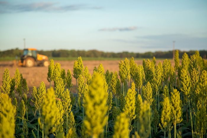 Sorghum germ offers protein and fats in pet meals  Sorghum germ offers protein and fats in pet meals sorghum grain tractor field farm