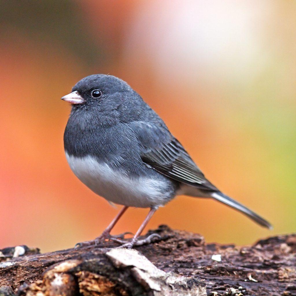 An Ode to Juncos: BirdSpotter Information Entry Winner  An Ode to Juncos: BirdSpotter Information Entry Winner DEJU GaryMueller