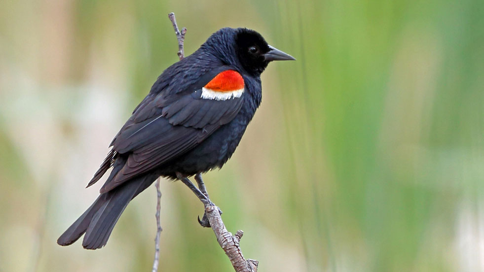 California's Tricolored Blackbird is Working Out of Room  California's Tricolored Blackbird is Working Out of Room TCBlackbird Voaden ML46575451