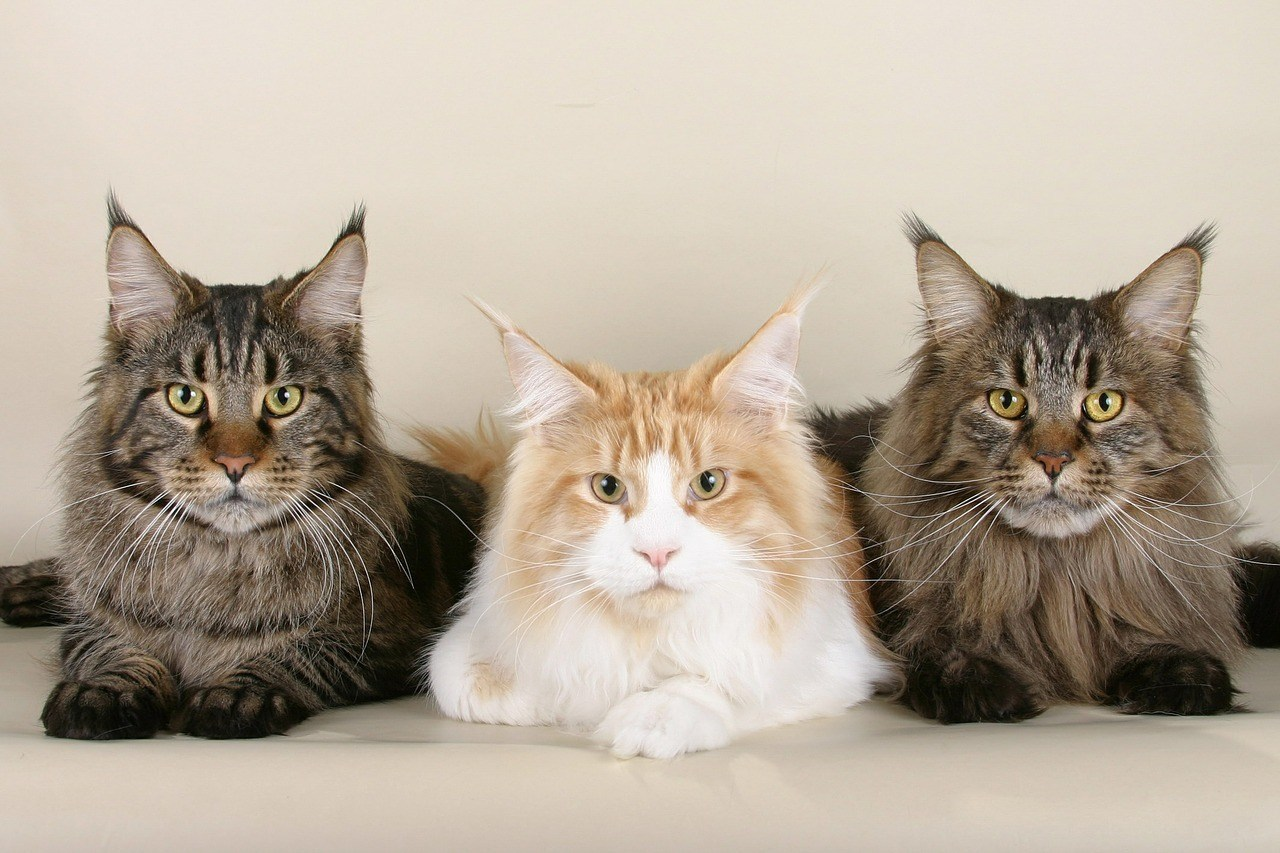 The Most Popular Cat Breeds in the UK  The Most Popular Cat Breeds in the UK cats 535789 1280