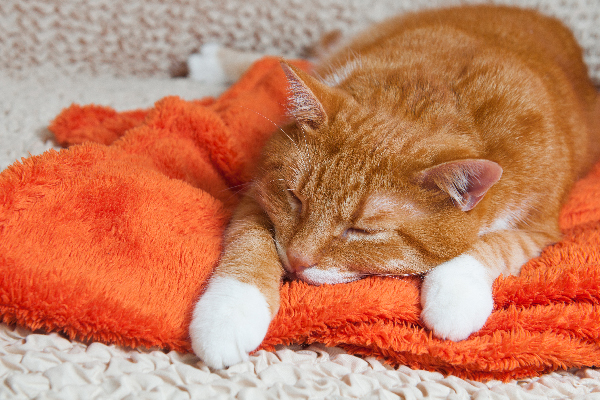 Heart Disease in Cats — What to Know  Heart Disease in Cats — What to Know orange tabby cat sick or asleep on a towel or blanket