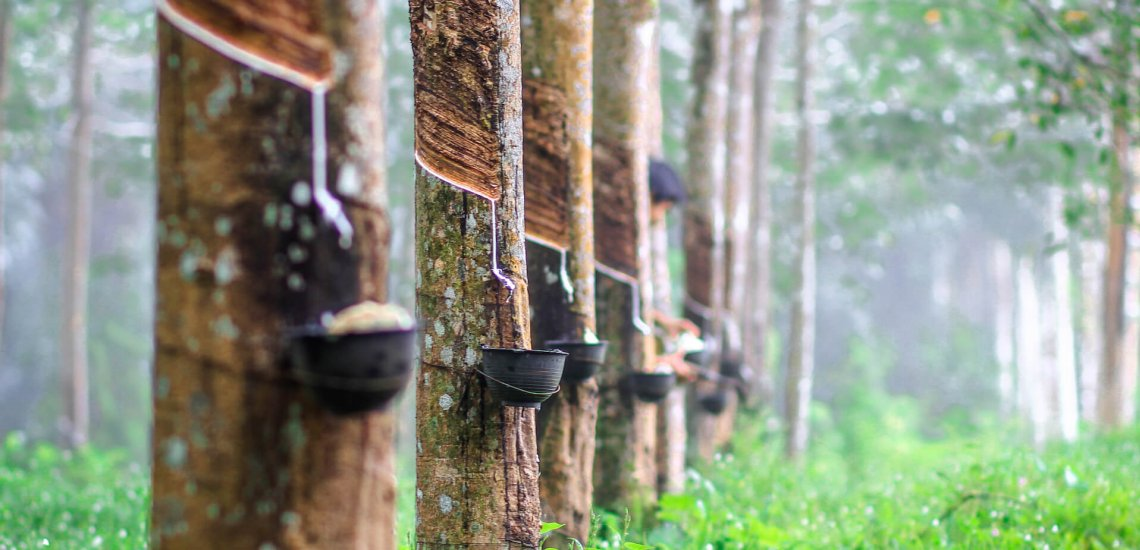 In the direction of nature-friendly rubber  In the direction of nature-friendly rubber rubber plantation