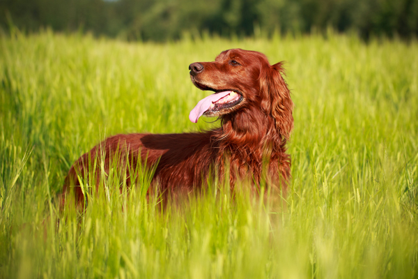 9 Irish Canine Breeds to Have a good time St. Patrick's Day  9 Irish Canine Breeds to Have a good time St. Patrick's Day shutterstock 163342436irish