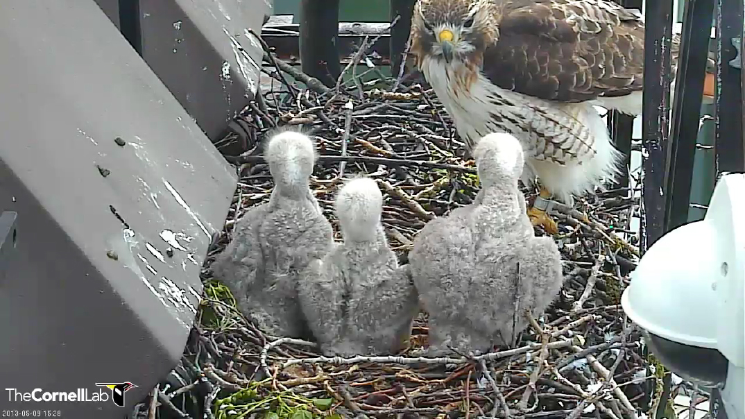 Bird Cams FAQ: Red-tailed Hawk Nest  Bird Cams FAQ: Red-tailed Hawk Nest 8726103993 b5e9064940 o
