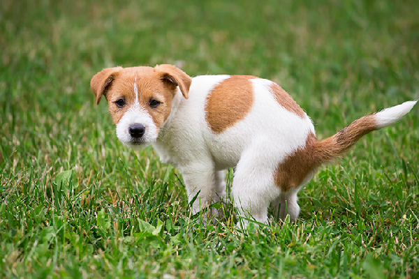 Is Your Canine Peeing Blood? Right here's Why  Is Your Canine Peeing Blood? Right here's Why A dog squatting to pee or poop on the grass