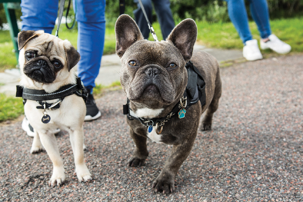 5 Canine-Strolling Issues & Options  5 Canine-Strolling Issues & Options A ppug and a French Bulldog out for a walk