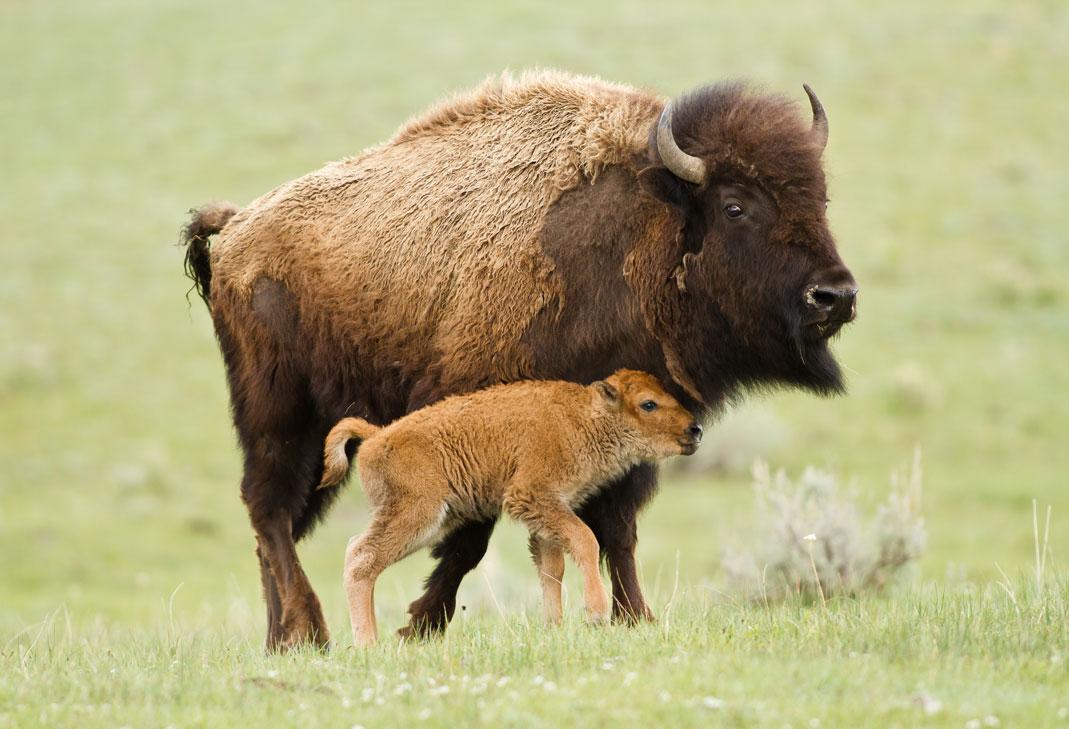 Coexisting with Bison  Coexisting with Bison entry179591