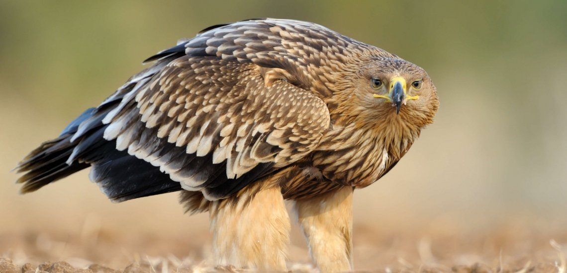 A mighty predator made helpless by the hands of people  A mighty predator made helpless by the hands of people imperial eagle website slider 2 c birdlife europe   flight for survival 1