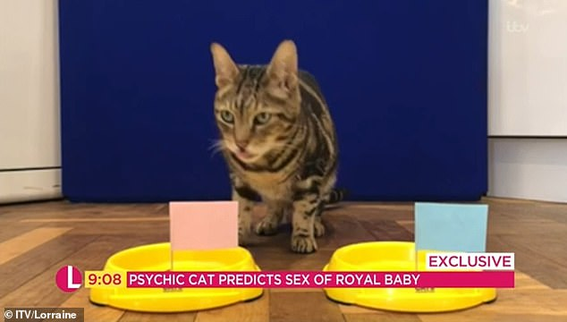 Psychic Cat Predicts Royal Baby Will be a Girl!  Psychic Cat Predicts Royal Baby Will be a Girl! psychic cat