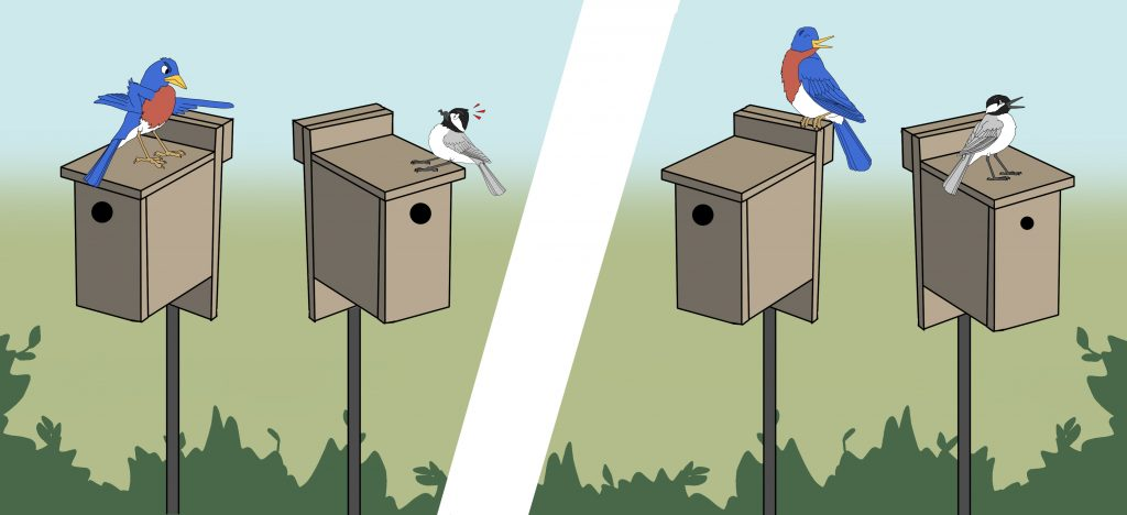 A Tale of Two Nest Boxes: When Pairing Doesn't Promote Peace  A Tale of Two Nest Boxes: When Pairing Doesn't Promote Peace bluebirdcartoon draft4 1024x468