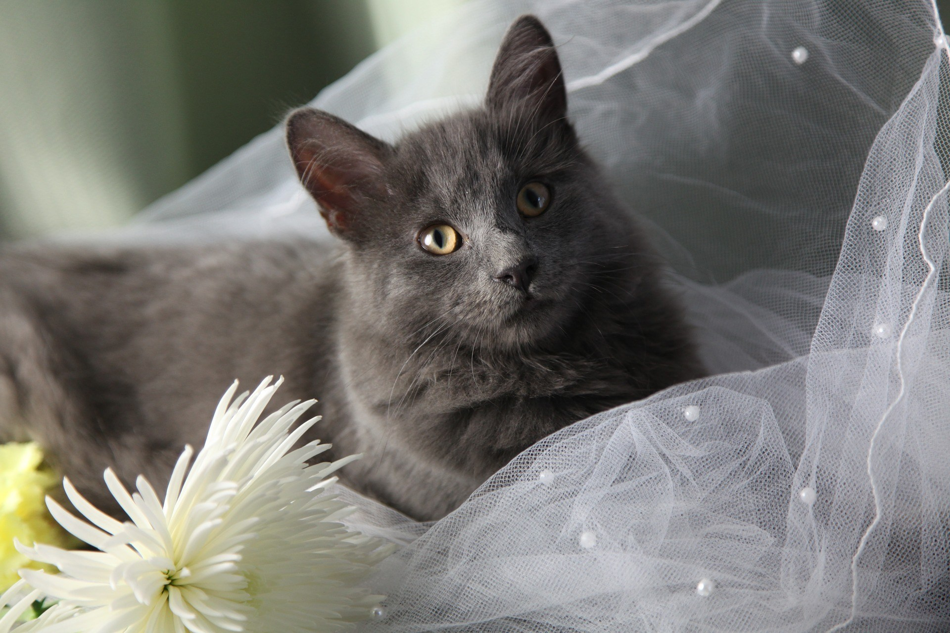 Pets are Guests at Almost Half of Weddings Survey Reveals  Pets are Guests at Almost Half of Weddings Survey Reveals maine coon cat 3668595 1920