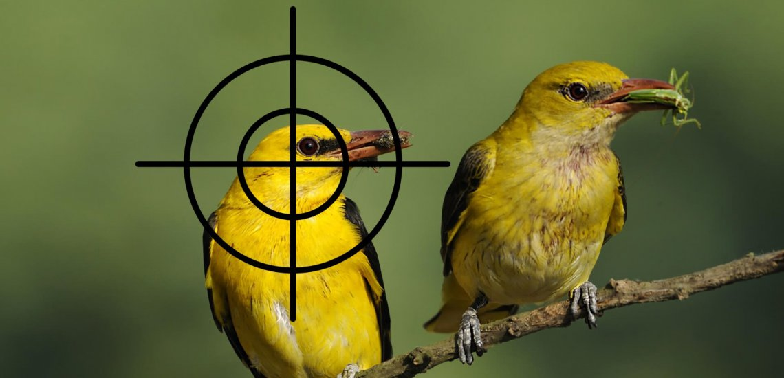 The Killing Crisis  The Killing Crisis oriole in crosshairs cropped