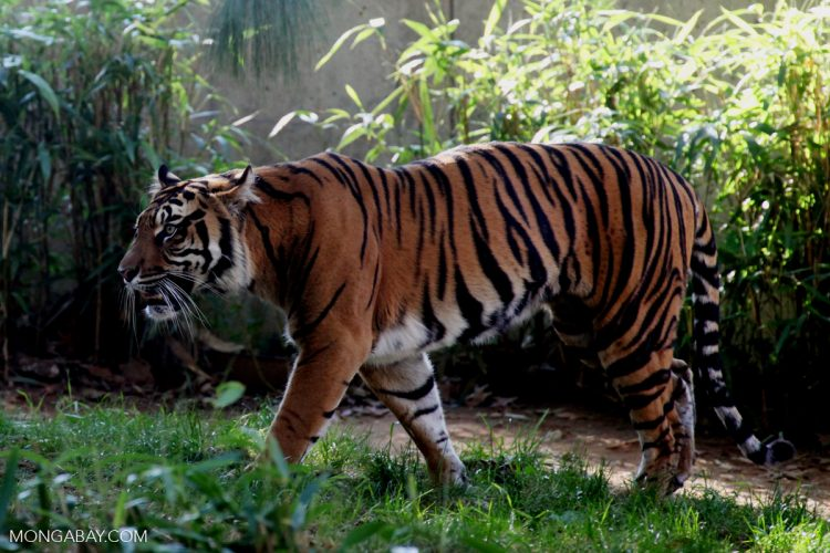 A tiger refuge in Sumatra gets a reprieve from road building  A tiger refuge in Sumatra gets a reprieve from road building sumatran tiger r butler