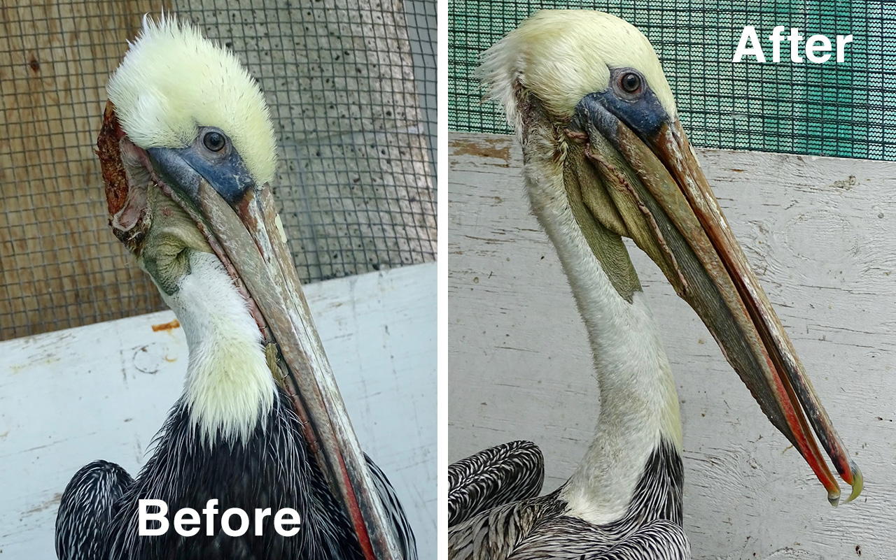 Affected person of the Week: Brown Pelican With Extreme Torn Pouch Undergoes Surgical procedure  Affected person of the Week: Brown Pelican With Extreme Torn Pouch Undergoes Surgical procedure BRPE Before After pouch surgery