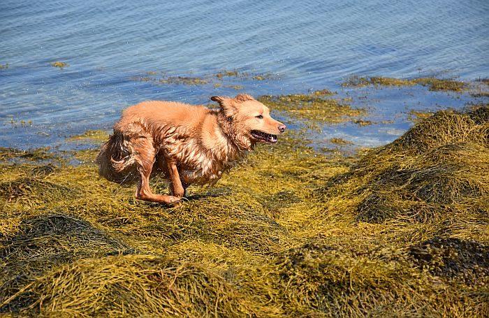 Scientific tip for seaweed palatability in pet food  Scientific tip for seaweed palatability in pet food Retriever Dog Run seaweed ocean
