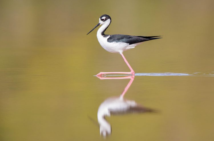 Potential Prices of Declining Water Ranges at Nice Salt Lake Could possibly be within the Billions  Potential Prices of Declining Water Ranges at Nice Salt Lake Could possibly be within the Billions aud apa 2018 black necked stilt a1 5021 1 kk photo teresa hedden 0