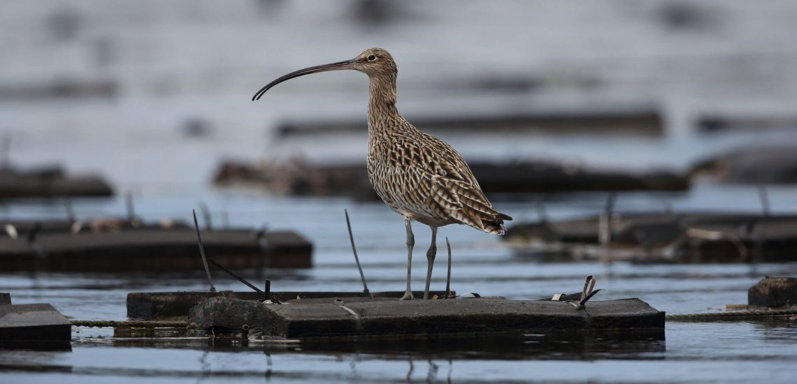 South Korea's artificial floating roosts: a lifeline for migratory shorebirds  South Korea's artificial floating roosts: a lifeline for migratory shorebirds far eastern curlew chris purnell smaller 1cropped