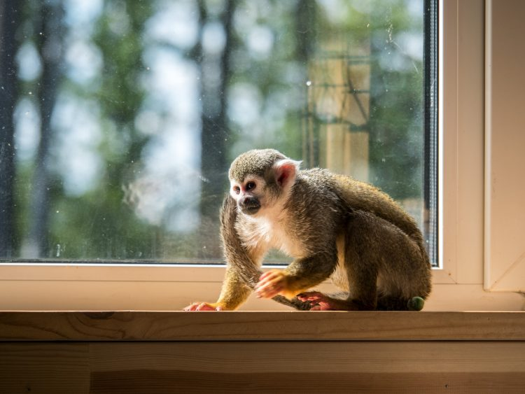 Petition: End Private Monkey Sales and Primate Ownership!  Petition: End Private Monkey Sales and Primate Ownership! shutterstock 758676136