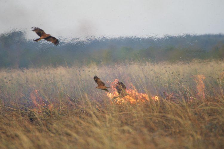 Australian raptors start fires to flush out prey  Australian raptors start fires to flush out prey 180112 firehawks full