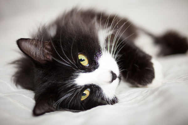10 Facts About Tuxedo Cats  10 Facts About Tuxedo Cats Close up of a tuxedo black and white cat