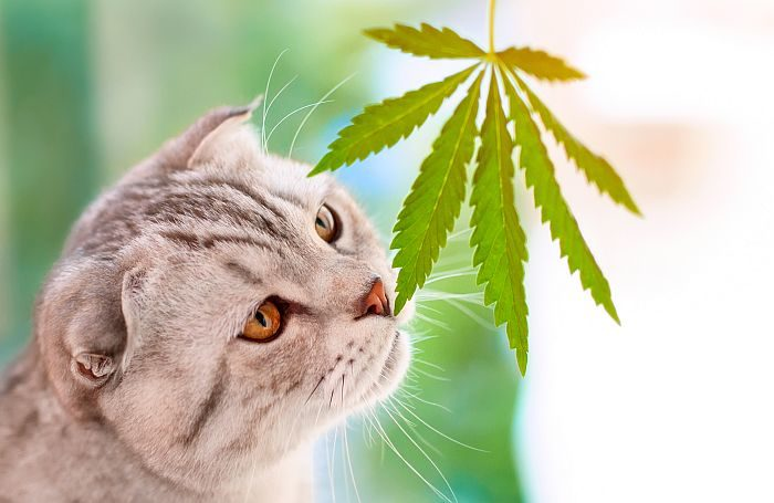 CBD pet dietary supplements could have an effect on canine and cats in another way  CBD pet dietary supplements could have an effect on canine and cats in another way cat CBD cannabis marijuana leaf