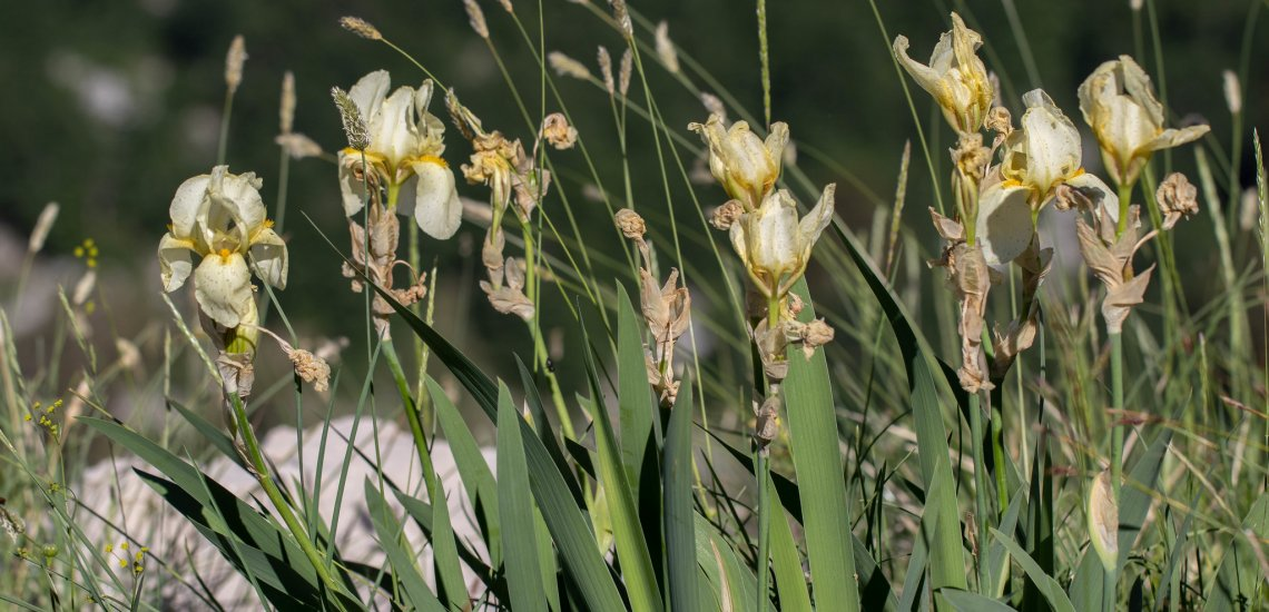 Protecting rare plant species on Orjen Mountain  Protecting rare plant species on Orjen Mountain iris orjenii mihailo jovicevic