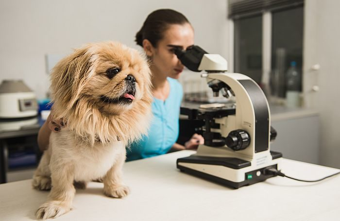 Hill's DCM examine seeks 1,000 canine for genetic screening  Hill's DCM examine seeks 1,000 canine for genetic screening dog microscope doctor laboratory veterinarian