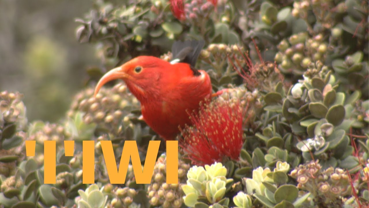 'I'iwi Feeding and Perching  'I'iwi Feeding and Perching 1584301744 maxresdefault