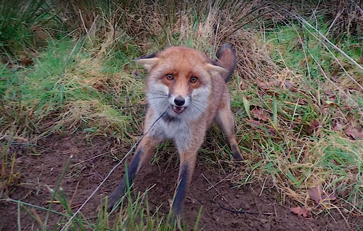 Man Snares and Bludgeons Foxes to Loss of life in UK Nationwide Park to Promote Fur to Sweden  Man Snares and Bludgeons Foxes to Loss of life in UK Nationwide Park to Promote Fur to Sweden screen shot 2020 03 04 at 2 46 11 pm