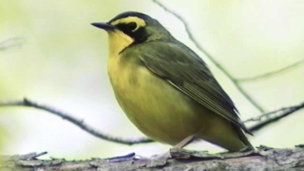 Kentucky Warbler Singing  Kentucky Warbler Singing 1585857531 maxresdefault