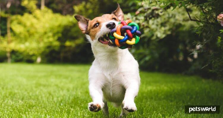 The way to Select the Greatest Toy for Your Canine?  The way to Select the Greatest Toy for Your Canine? dog toys