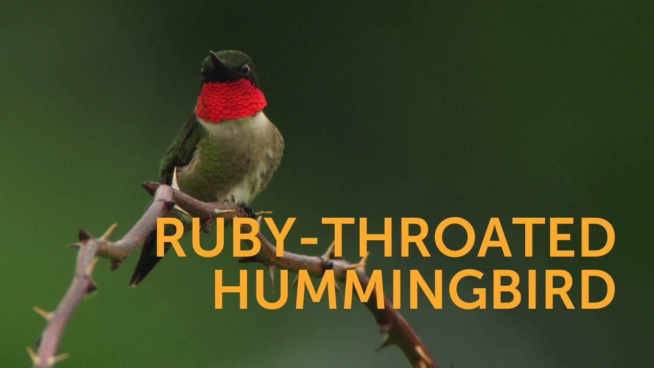 Ruby-throated Hummingbird, Gorget-Flasher  Ruby-throated Hummingbird, Gorget-Flasher 1588971001 maxresdefault