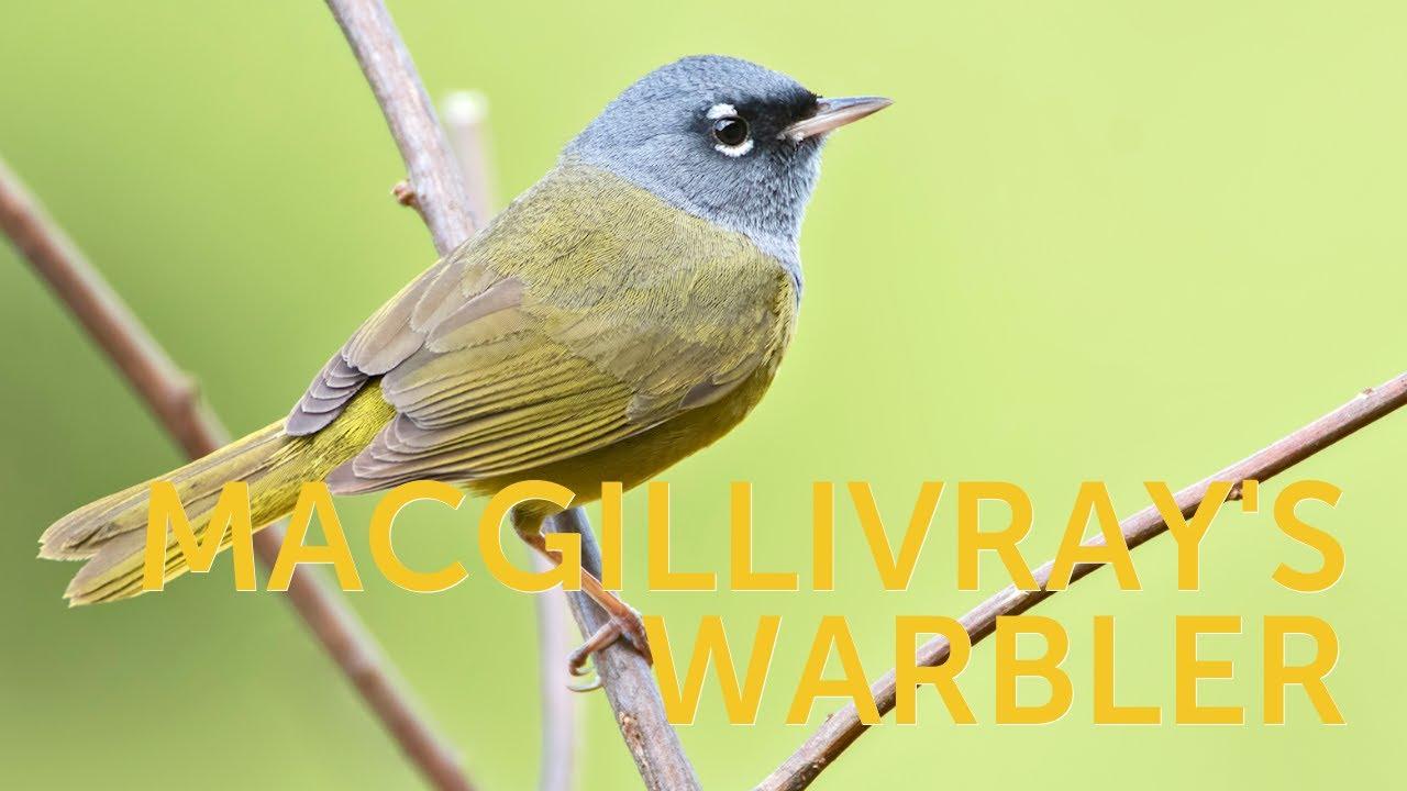 MacGillivray's Warbler Track  MacGillivray's Warbler Track 1590526745 maxresdefault