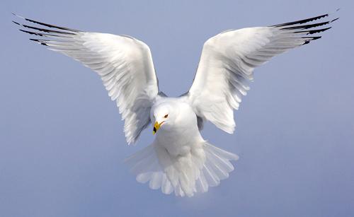 Methods to {Photograph} Birds in Flight  Methods to {Photograph} Birds in Flight RBGull Vyn