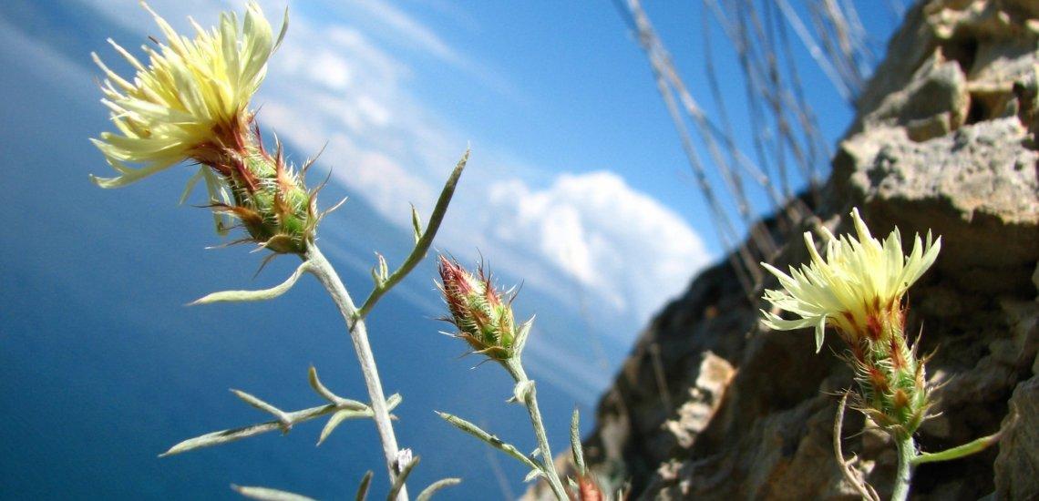 Endemic crops of Prespa obtain a conservation enhance  Endemic crops of Prespa obtain a conservation enhance centaurea soskae 01 vlado matevski cut