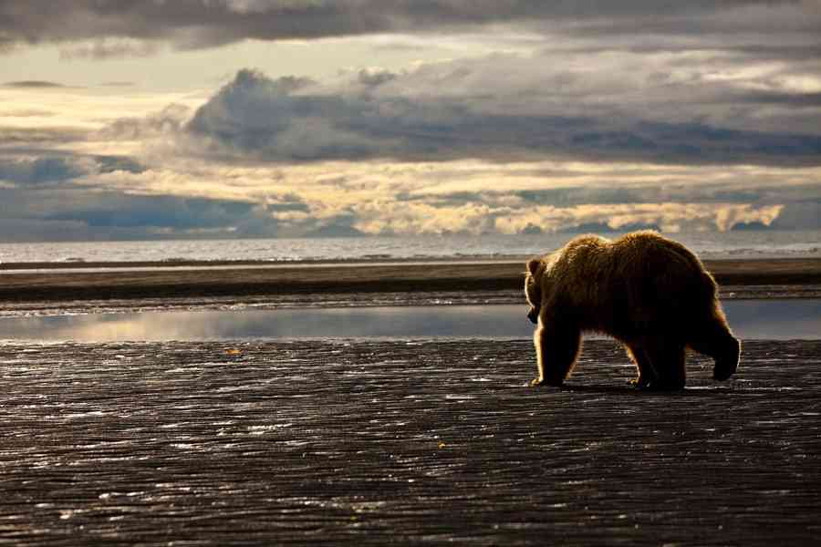 Trump Administration Finalizes Excessive Predator Searching Guidelines in Alaska Nationwide Preserves  Trump Administration Finalizes Excessive Predator Searching Guidelines in Alaska Nationwide Preserves entry18324 1