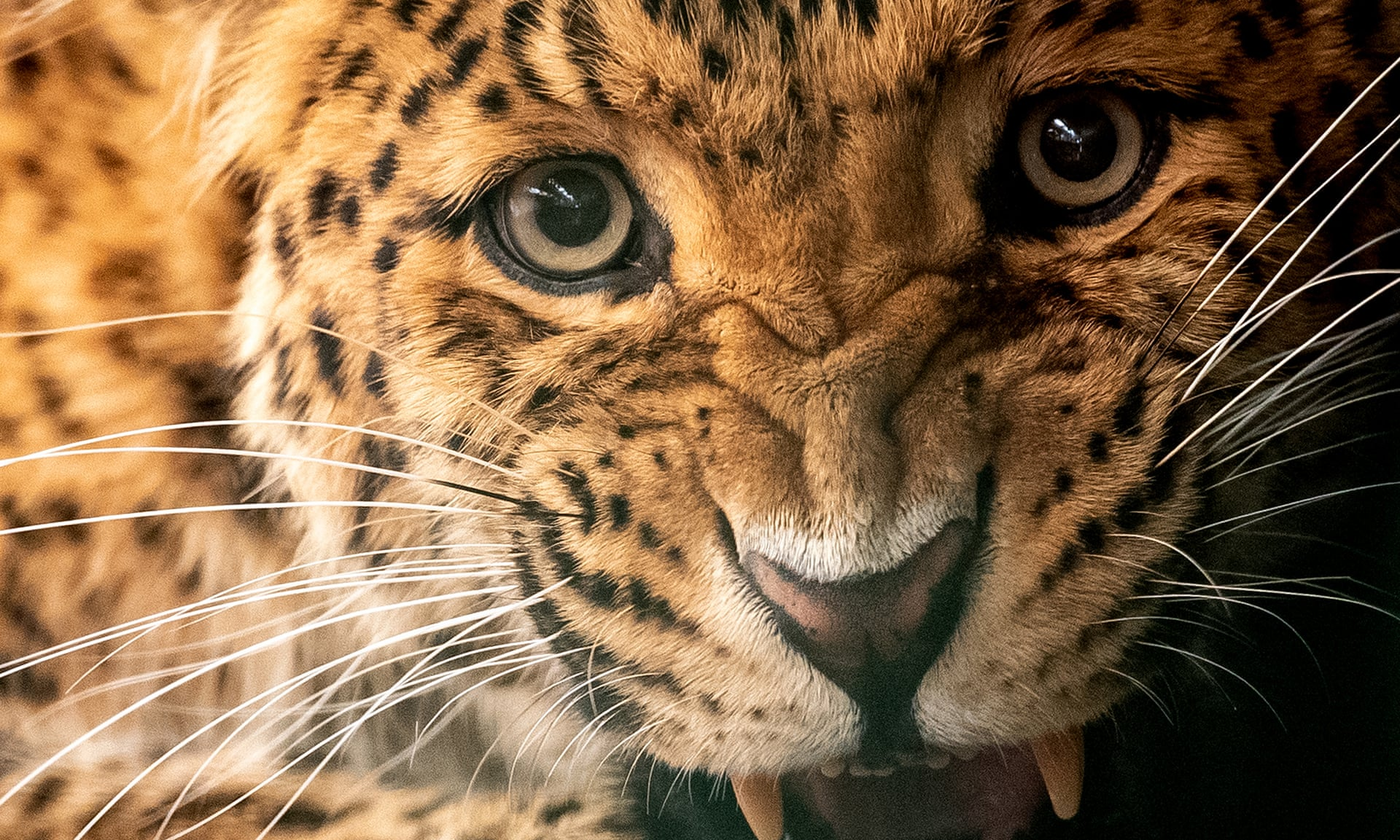 Wildlife traffickers goal lion, jaguar and leopard physique elements as tiger substitutes  Wildlife traffickers goal lion, jaguar and leopard physique elements as tiger substitutes 3000