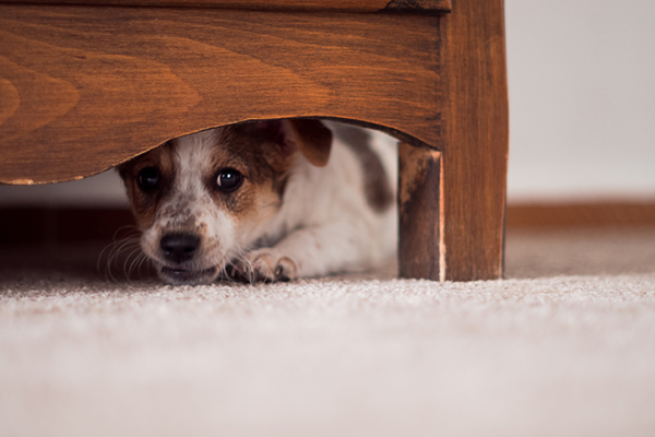 Fireworks & Pets: Ideas for a Low-Stress Vacation  Fireworks & Pets: Ideas for a Low-Stress Vacation A scared dog hiding under the bed