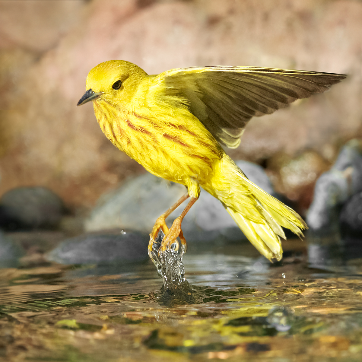 Splash of Sunshine: BirdSpotter Judges' Alternative Winner – FeederWatch  Splash of Sunshine: BirdSpotter Judges' Alternative Winner – FeederWatch Category6 JC YEWA ChristineHansen