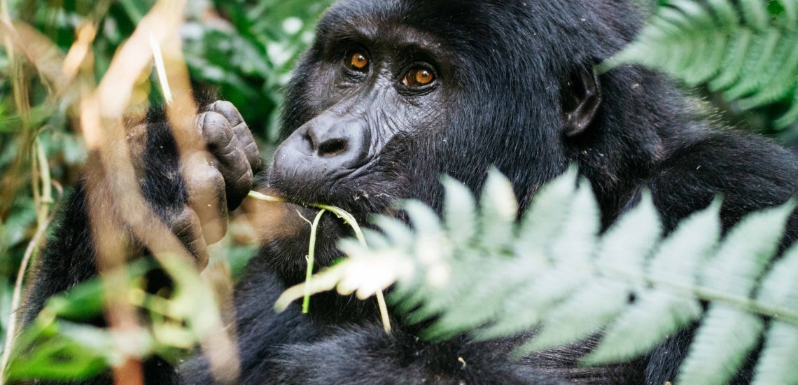 Eight years within the Japanese Afromontane: a conservation milestone  Eight years within the Japanese Afromontane: a conservation milestone emilie chen mountain gorilla 2 little 1