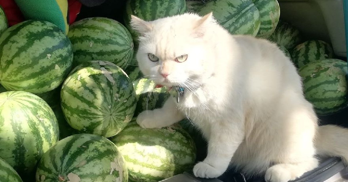You've Seen The Meme, Now Meet Pearl The Watermelon Cat  You've Seen The Meme, Now Meet Pearl The Watermelon Cat watermelon cat